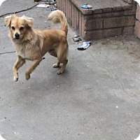 Spaniel (Unknown Type) Mix Dog for adoption in Seattle, Washington - Bobo - Cutest Lil Spaniel Mix