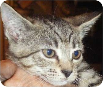 Domestic Shorthair Kitten for adoption in Kensington, Maryland - Dolly