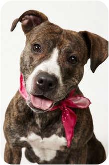 American Pit Bull Terrier Dog for adoption in New York, New York - Gigi