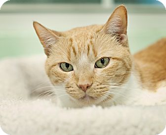 Domestic Shorthair Cat for adoption in Carencro, Louisiana - Ginny