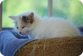 Calico Kitten for adoption in Trevose, Pennsylvania - Ice Cream