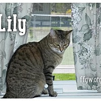 Domestic Shorthair Cat for adoption in Merrifield, Virginia - Lily