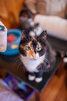 Domestic Shorthair Cat for adoption in Statesville, North Carolina - Lolita
