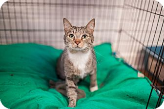 Domestic Shorthair Cat for adoption in Statesville, North Carolina - Archer