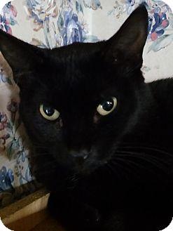 Manx Cat for adoption in Witter, Arkansas - Allie (Manx)