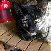Adopt A Pet :: Little Woman - Asheville, NC