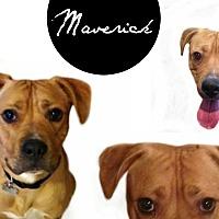 Adopt A Pet :: Maverick-SPONSORED! - Des Moines, IA