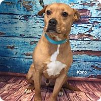 Pit Bull Terrier Mix Dog for adoption in Hibbing, Minnesota - Kona