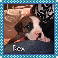 American Pit Bull Terrier Mix Puppy for adoption in Wichita Falls, Texas - Rex