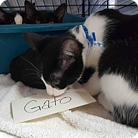 Adopt A Pet :: Gato (Mower Litter) - Acworth, GA