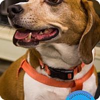 Adopt A Pet :: Duke - Staten Island, NY