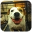 Photo 1 - American Pit Bull Terrier Mix Dog for adoption in Blanchard, Oklahoma - Daisy