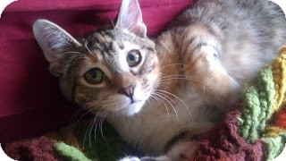 Domestic Shorthair Kitten for adoption in Chicago, Illinois - Holly