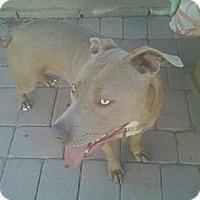 Vizsla Mix Dog for adoption in Beverly Hills, California - Sunshine