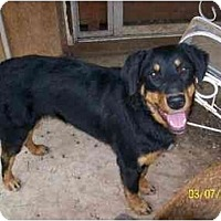 Rottweiler/Australian Shepherd Mix Dog for adoption in Norman, Oklahoma - Meme