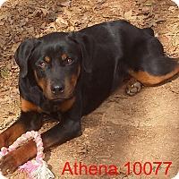 Adopt A Pet :: Athena - Greencastle, NC
