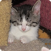 Adopt A Pet :: Laurelei - Southington, CT
