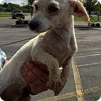 Adopt A Pet :: Tinkerbell - St. Petersburg, FL