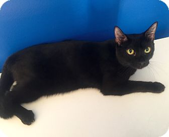 Domestic Shorthair Cat for adoption in Mount Pleasant, South Carolina - Bongo