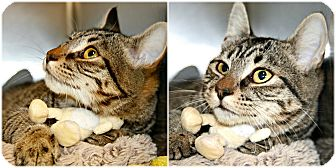 Domestic Shorthair Cat for adoption in Forked River, New Jersey - Bailey