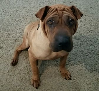 Shar Pei Dog for adoption in Houston, Texas - Jane