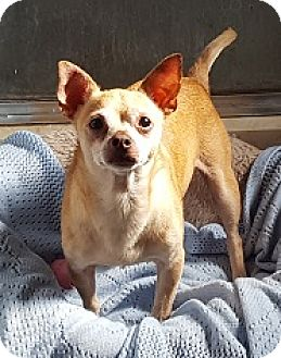 Chihuahua Dog for adoption in Bunnell, Florida - Rocky
