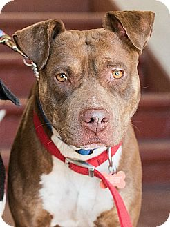 American Staffordshire Terrier/Pit Bull Terrier Mix Dog for adoption in Los Angeles, California - Clark
