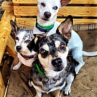 Adopt A Pet :: Audrey, Hank, Waulon - Los Angeles, CA