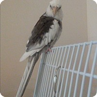Adopt A Pet :: Pete & Pearl - St. Louis, MO