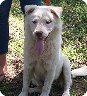 Samoyed Mix Dog for adoption in Olive Branch, Mississippi - Herbie - see video