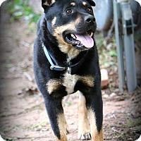 Adopt A Pet :: Beau - Wichita Falls, TX