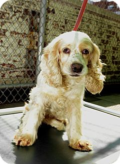 Cocker Spaniel Dog for adoption in New York, New York - Iris