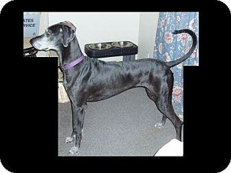 Great Dane Dog for adoption in Phoenix, Arizona - Sarah