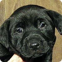 Adopt A Pet :: Baby Nugget - Oakley, CA