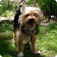 Adopt A Pet :: YorkiRanian - Mahopac, NY