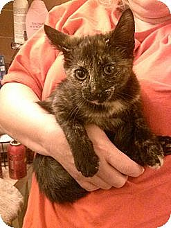 Domestic Shorthair Cat for adoption in Cranford/Rartian, New Jersey - Seraphina