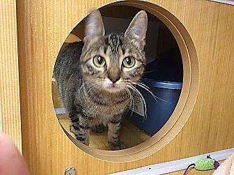 Domestic Shorthair Cat for adoption in Arlington/Ft Worth, Texas - Glenfiddich