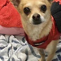 Chihuahua Dog for adoption in Lancaster, California - Mickey