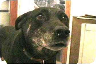 Labrador Retriever/German Shepherd Dog Mix Dog for adoption in Forest Hills, New York - Harry