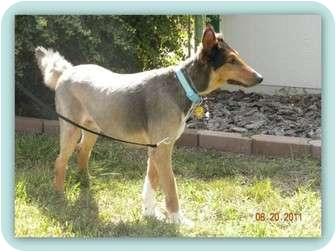 Collie Dog for adoption in Trabuco Canyon, California - Sherlock