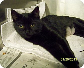 Domestic Shorthair Cat for adoption in Dover, Ohio - Boo