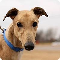Adopt A Pet :: Firecracker - Oklahoma City, OK