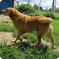 Retriever (Unknown Type) Mix Dog for adoption in Poland, Indiana - Lacy