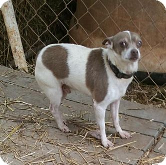 Chihuahua Mix Dog for adoption in Anderson, South Carolina - HENRY