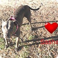 Adopt A Pet :: Sasha - Pensacola, FL