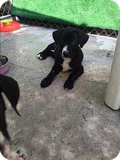 Labrador Retriever Mix Puppy for adoption in Atlanta, Georgia - Colbie