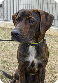 Beagle Mix Dog for adoption in Madison, Alabama - Dusty Banner