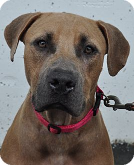 Black Mouth Cur/American Staffordshire Terrier Mix Dog for adoption in Atlanta, Georgia - Roxanne
