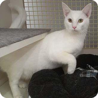 Domestic Shorthair Cat for adoption in Merrifield, Virginia - Jinx