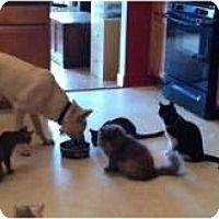 Adopt A Pet :: Kitties who get along w/dogs - McDonough, GA